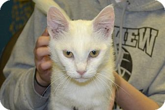 Domestic Shorthair Cat for adoption in Elyria, Ohio - Aurora