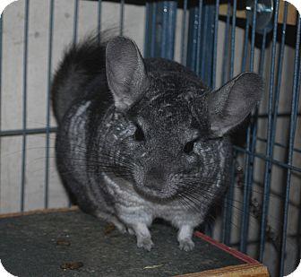 Chinchilla for adoption in Hammond, Indiana - Gigi