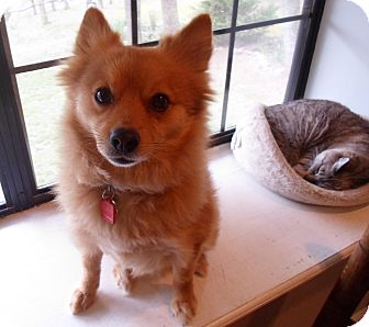 Pomeranian Dog for adoption in Spring Valley, New York - Beau