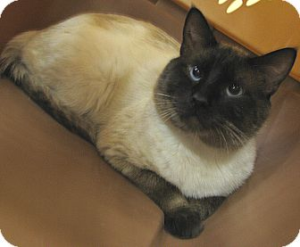 Siamese Cat for adoption in Tulsa, Oklahoma - Yang