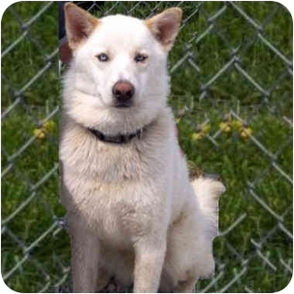 Siberian Husky/German Shepherd Dog Mix Dog for adoption in Various Locations, Indiana - Snowie