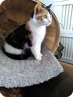 Calico Cat for adoption in Forest Hills, New York - Lexi