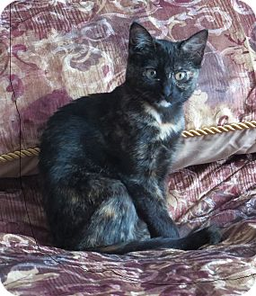 Domestic Mediumhair Kitten for adoption in Coldspring, Texas - Jewel