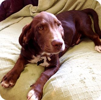 Beagle/Basset Hound Mix Puppy for adoption in Groton, Massachusetts - Tuck