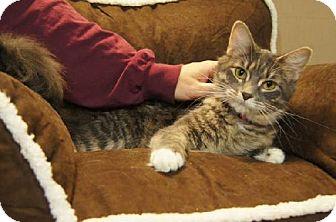 Domestic Longhair Cat for adoption in Detroit Lakes, Minnesota - Jorgie