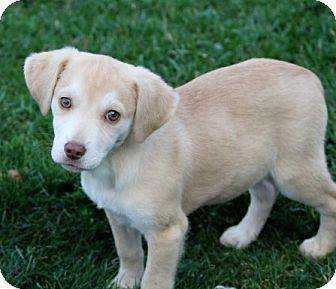 Labrador Retriever/Beagle Mix Puppy for adoption in Liberty Center, Ohio - Eudora