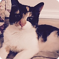 Domestic Shorthair Cat for adoption in Berkeley Hts, New Jersey - Willow