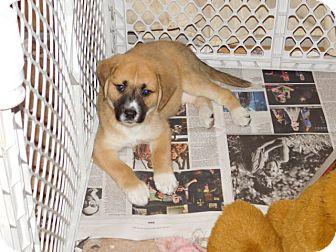 German Shepherd Dog Mix Puppy for adoption in Conesus, New York - Treasure