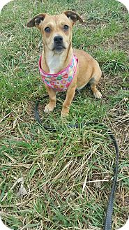 Dachshund/Pug Mix Puppy for adoption in South Park, Pennsylvania - Chloe