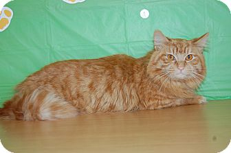 Maine Coon Cat for adoption in North Judson, Indiana - Elpine