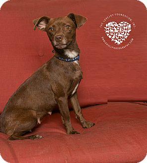 Dachshund/Terrier (Unknown Type, Small) Mix Dog for adoption in Inglewood, California - Sadie Sue