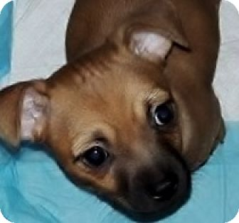 Boston Terrier/Chihuahua Mix Puppy for adoption in Phoenix, Arizona - Tuttle
