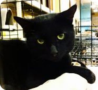 Domestic Shorthair Cat for adoption in Greensburg, Pennsylvania - Wally
