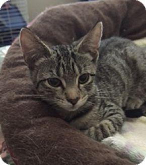 Domestic Shorthair Kitten for adoption in Houston, Texas - Kelly
