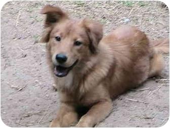 Sheltie, Shetland Sheepdog/Collie Mix Puppy for adoption in Montevallo, Alabama - Pong