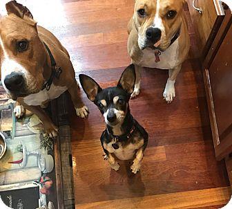 Chihuahua Mix Dog for adoption in Salem, Oregon - Misty