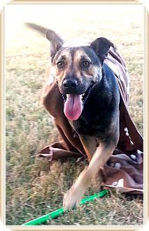 German Shepherd Dog Mix Puppy for adoption in Olympia, Washington - Coco