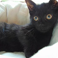Adopt A Pet :: Destiny - Newtown Square, PA