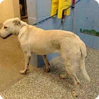 Adopt A Pet :: A504590 - San Bernardino, CA