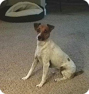 Jack Russell Terrier Mix Dog for adoption in Syracuse, New York - Tabitha