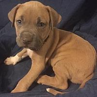 Adopt A Pet :: Angelus - Rochester, MI