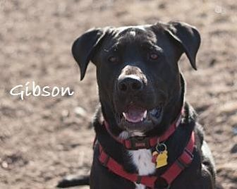 Labrador Retriever Mix Dog for adoption in DeSoto, Iowa - Gibson