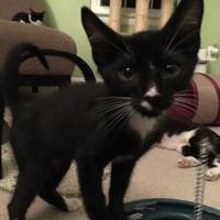 Adopt A Pet :: Penguin - Fairfax Station, VA