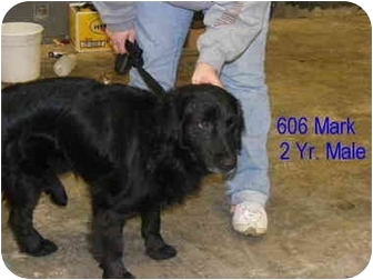 Flat-Coated Retriever Mix Dog for adoption in Rochester, New Hampshire - Mark