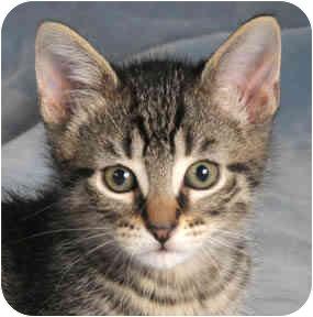 Domestic Shorthair Kitten for adoption in Chicago, Illinois - Zebra