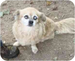 Pekingese Mix Dog for adoption in Spring Valley, New York - Chloe