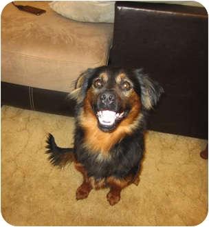 Sheltie, Shetland Sheepdog/Australian Shepherd Mix Dog for adoption in Alexandria, Virginia - Chester