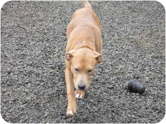 Labrador Retriever/Pit Bull Terrier Mix Dog for adoption in Tillamook, Oregon - Basil