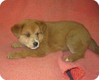 Labrador Retriever Mix Puppy for adoption in Danbury, Connecticut - Olia
