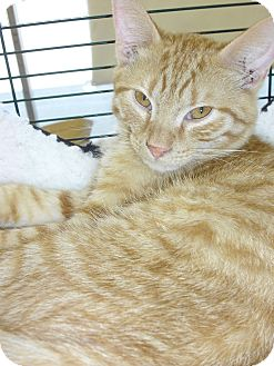 Domestic Shorthair Kitten for adoption in Fairborn, Ohio - Copper