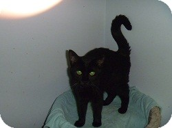 Domestic Shorthair Cat for adoption in Hamburg, New York - Yang