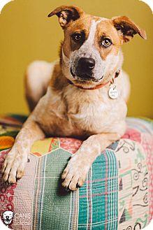 Australian Cattle Dog/Labrador Retriever Mix Puppy for adoption in Portland, Oregon - Audrey