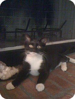 Domestic Shorthair Cat for adoption in Monroe, Georgia - Skyler