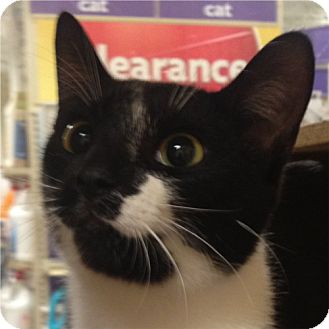 Domestic Shorthair Cat for adoption in Weatherford, Texas - Lucky