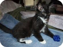 Domestic Mediumhair Kitten for adoption in Allentown, Pennsylvania - Sylvester ($200)