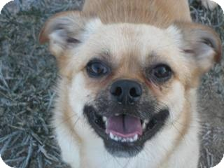 Pekingese Mix Dog for adoption in Columbia Falls, Montana - Lester
