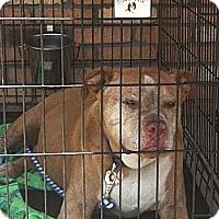 Adopt A Pet :: Petie - North Hollywood, CA