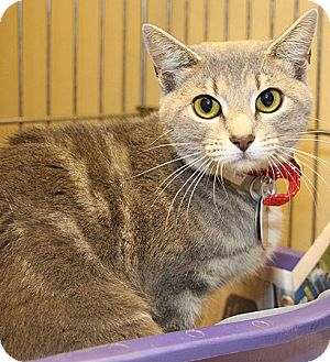 Domestic Shorthair Cat for adoption in Port Washington, New York - Venus