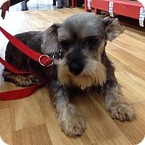 Schnauzer (Miniature) Dog for adoption in Redondo Beach, California - Gladys