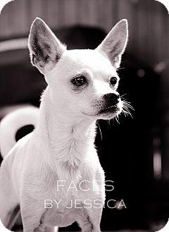 Chihuahua Dog for adoption in San Antonio, Texas - Panchito - San Antonio