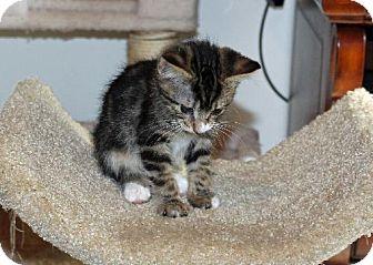 Domestic Shorthair Kitten for adoption in HILLSBORO, Oregon - Stevie