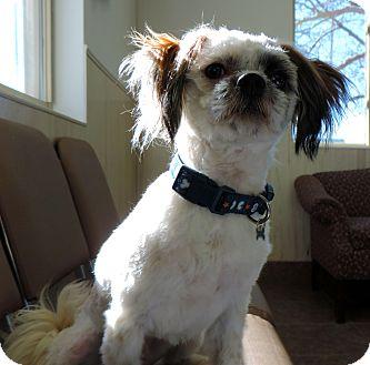 Shih Tzu Mix Dog for adoption in Fremont, Nebraska - Yogi