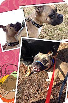Boxer/Labrador Retriever Mix Dog for adoption in sanford, North Carolina - Sasha