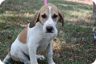 Beagle/Hound (Unknown Type) Mix Puppy for adoption in Conway, Arkansas - Princess