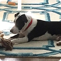 Adopt A Pet :: Zippy - Courtesy Posting - New Canaan, CT