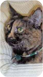 Domestic Shorthair Cat for adoption in Warren, Pennsylvania - Cuddles